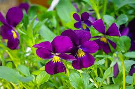 viooltje - Viola 'Martin'