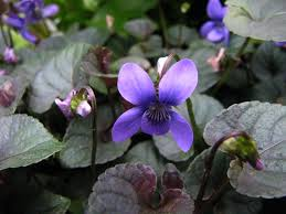 viooltje - Viola  labradorica