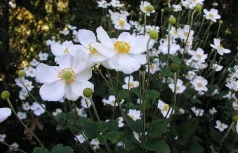 anemoon - Anemone Honerine Jobert