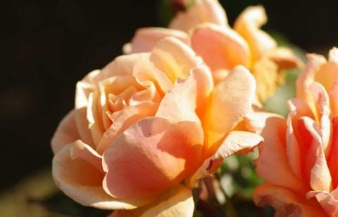struikroos - Rosa 'King's Macc'