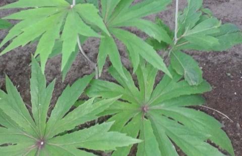 parapluplant - Syneilesis palmata